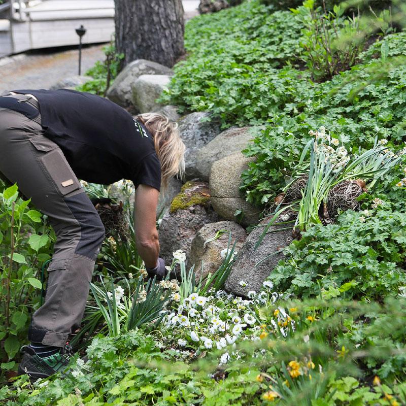 Puutarhuri istuttaa rinteeseen narsisseja.